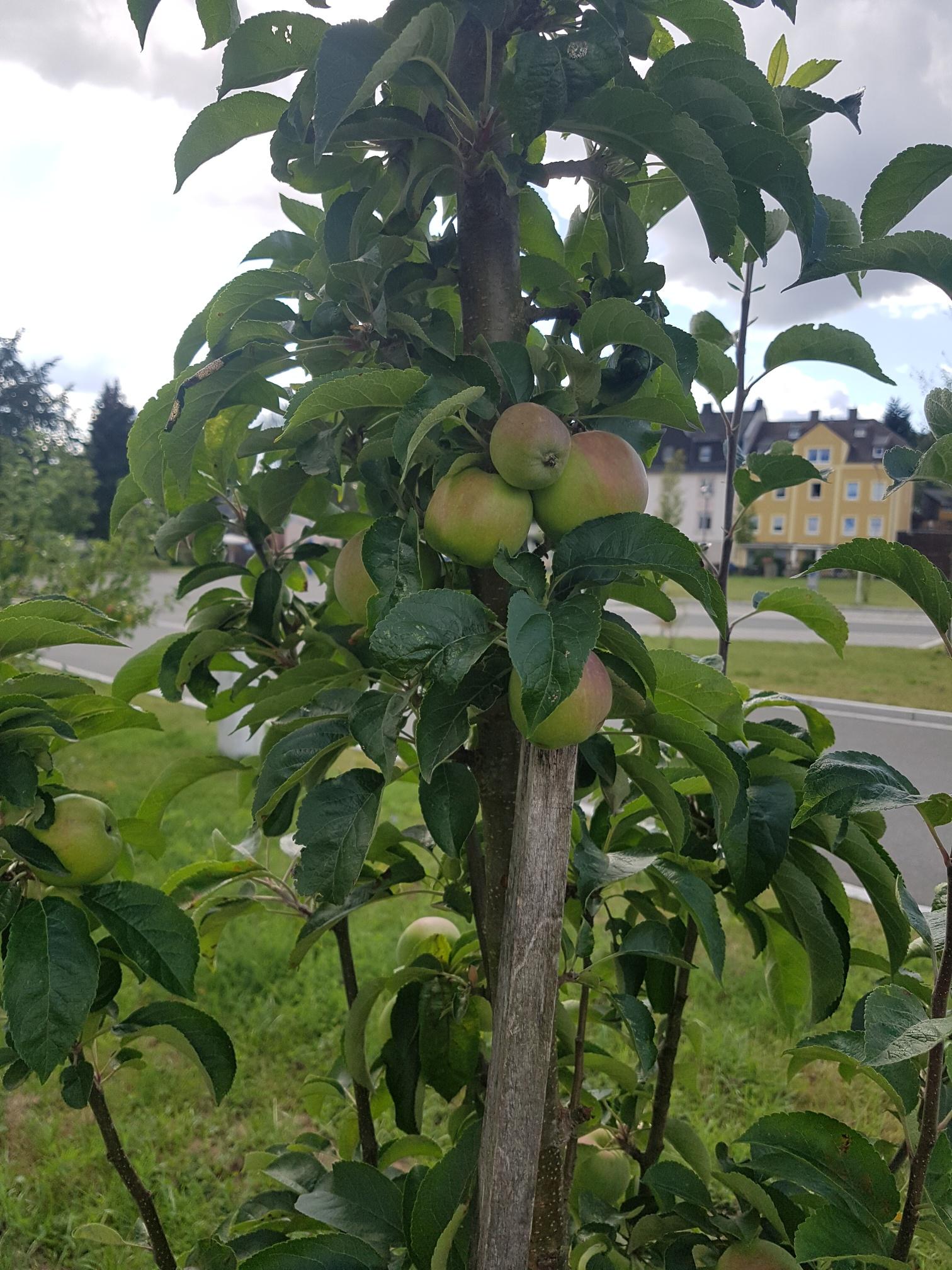Leckere reife Äpfel